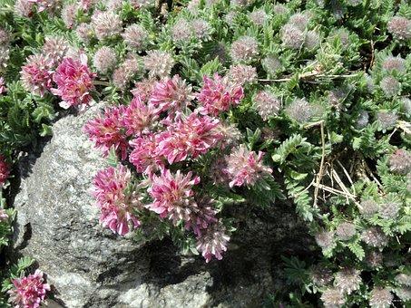 Anthyllis, Montana, Subsp, Jacquinii, Botanical