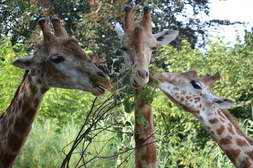 Giraffe, Hungry, Leaf, Zoo, Animal, Head
