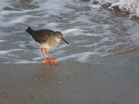 Birds, Red Shank, Seashore