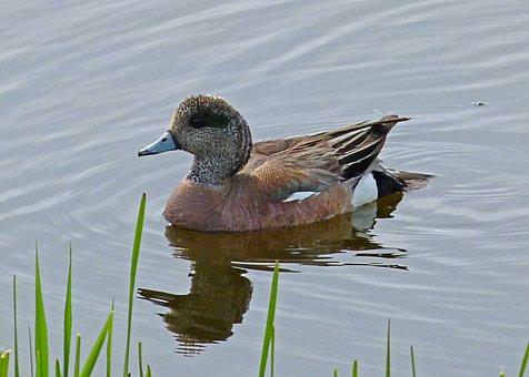 Common Merganser, Duck, Waterbird, Swamp, Wetland