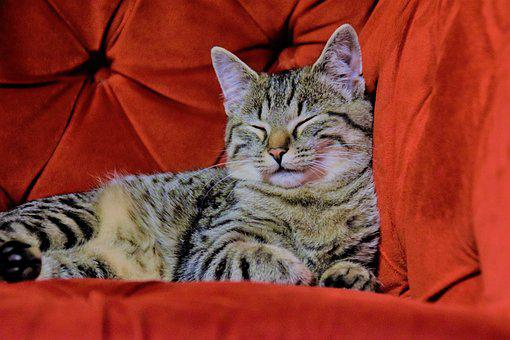 Cat, Red Chair, Tv Armchair, Domestic Cat