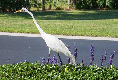 White Heron, Bird, Nature, Animal, Wildlife, Beak
