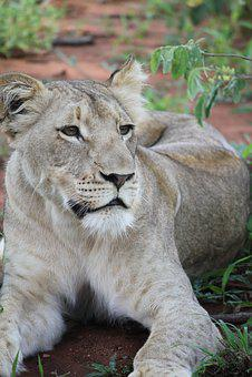 Animal, Big Cat, Grass, Lion, White, Wild Cat, Wildlife