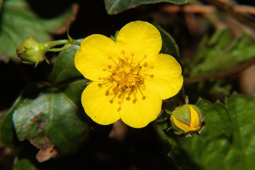 Winter Linge, Eranthis Hyemalis, Early Bloomer, Flower