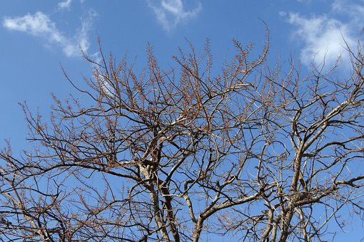 Amla, Emblica Officinalis, Budding-leaves