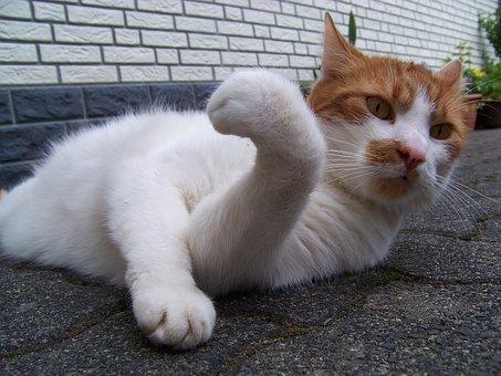 Cat, Animal, Playful, Pet, Mieze, Adidas, Domestic Cat