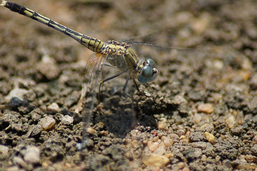 Dragonfly, Bug, Bugs, Dragonflies, Golden, Animal