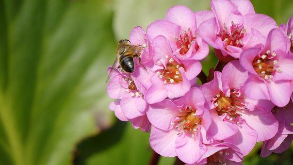 Bergenia Cordifolia, Dawn, Bergeneie, Bee, Plant, Green