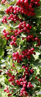 Nature, Plant, Bird Bed, Rowanberries, Toxic, Beautiful