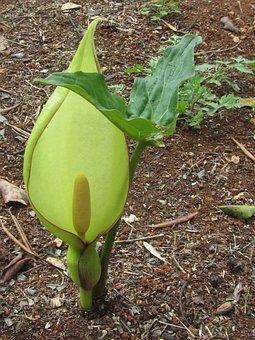 Arum, Lily, Flower, Wildflower, Nature, Botany, Plant