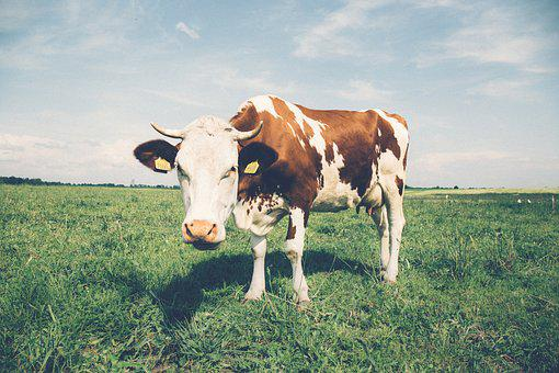 Agriculture, Cattle, Close-up, Cow, Dairy, Farm