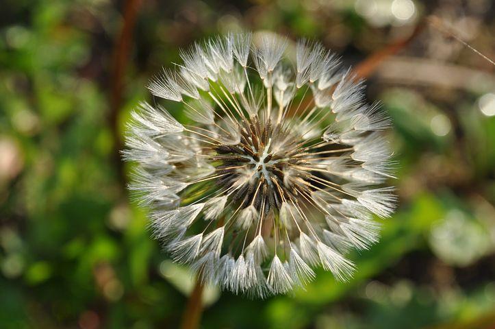 Flower, Dandelion, Dry, Seesd, Fluffy