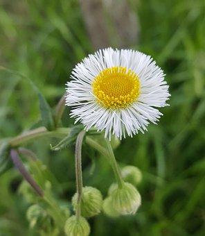 Daisy Fleabane, Fleabane, Flower, Wildflower, Flora