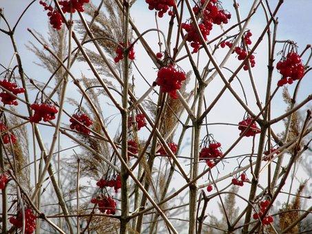 Nature, Hauptwil, Bush, Rowanberries, Reed, Mood