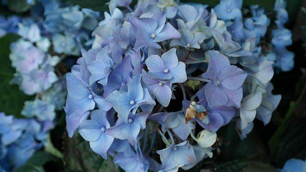 Hydrangeas, Flower, Hortensis, Ornamental Shrub