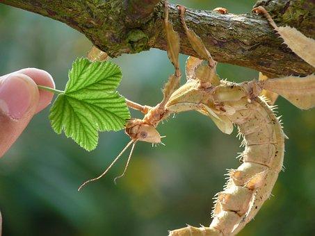 Ghostly Grasshopper, Grasshopper, Leaf, Feed, Insect