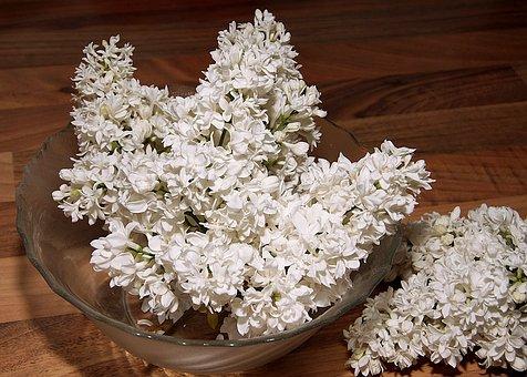 Lilac, Fliederblueten, Lilac Umbels, Flowers, Petals