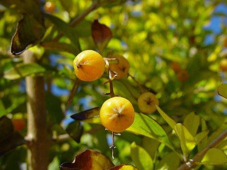 Woodvale, Berries, Yellow, Little, Shrubs, Bushes