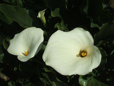 Arum, Flowers, Plant, Pistil, White