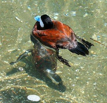 Blue Bill Duck, Waterfowl, Swimming, Diving, Bill, Fowl