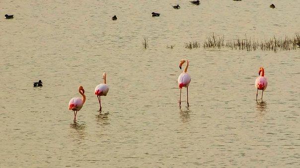 Cyprus, Oroklini Lake, Flamingos, Nature, Wildlife