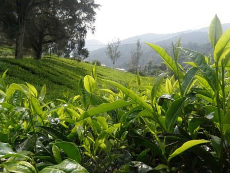 Tea, Landscape, Bush, Green, Agriculture, Plantation