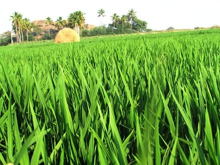 Paddy, Fields, Rice, Crops, Greenery, Agriculture