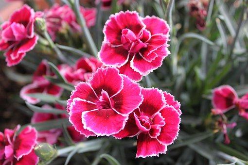 Dianthus, Flower, Pink, White Flower Edge, Garden