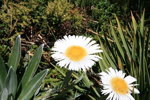 Daisy, Flower, Blossom, Bloom, Yellow, Fresh, Meadow