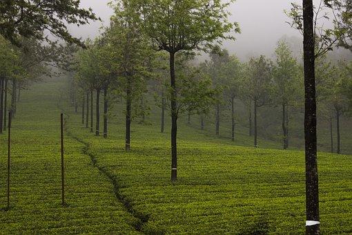 Tea Garden, Tea, Munnar, India, Garden, Drink, Nature