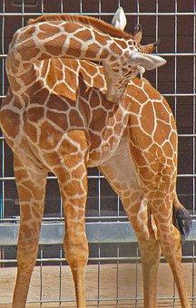 Giraffe, Young, Wilhelma, Germany, Nature, Animal