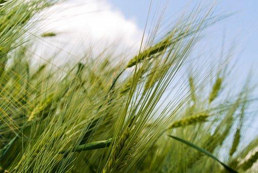 Grain, Field, Green, Detail, Growing, Harvest, Farm