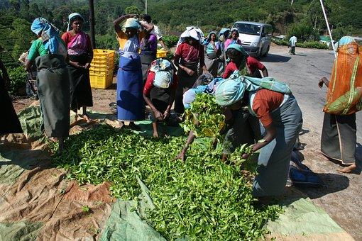 Tea, Tea Pickers, Sri Lanka, Plantation, Harvesting