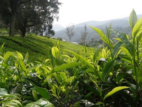 Tea, Landscape, Bush, Green, Agriculture, Plantation