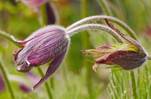 Pasque Flower, Blossomed Out, Botany, Macro, Nature