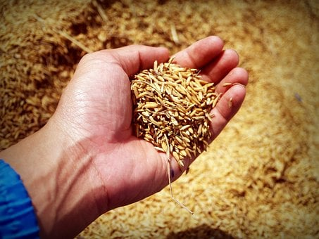 Rice, Hand, Harvest, Grain, Thailand, Move, Agriculture