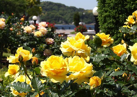 Verny Park, France, Rose, Yellow, Red, Sea, Naval Base