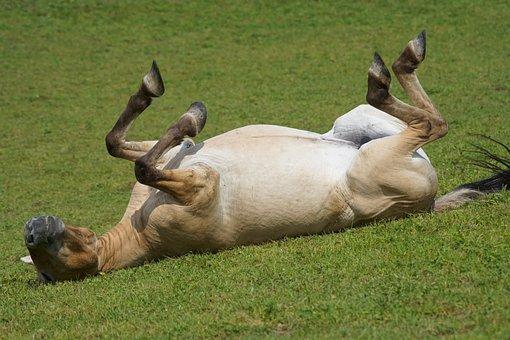 Przewalski, Wild Horse, Pasture, Rolling, Feel Good