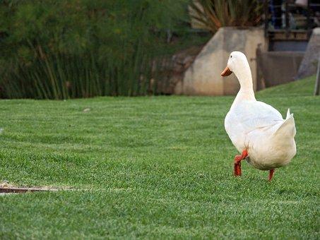 Duck, Pata, Ave, Bird, Landscape, Nature, Pond