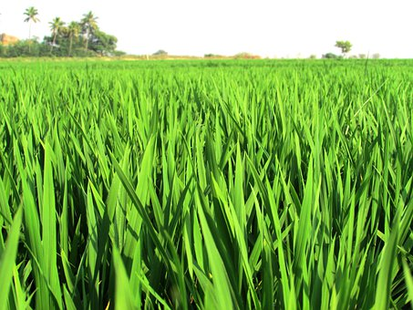 Paddy, Fields, Rice, Crops, Plants, Edible, Foods