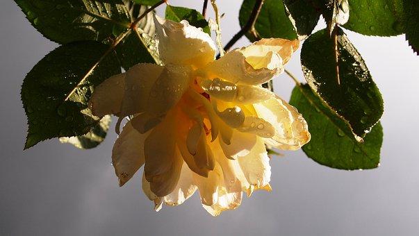 Yellow Rose, Tea Rose, Rain, Sunlight, Air, Lighting