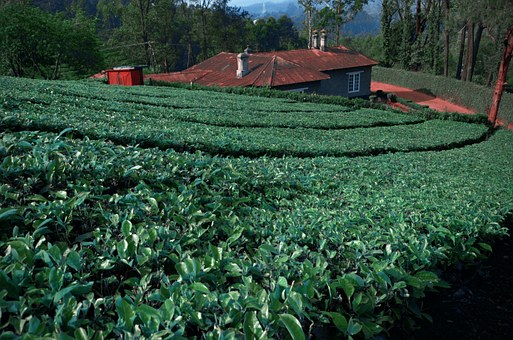 Tea Leaves, Tea Garden, South India, Plantations