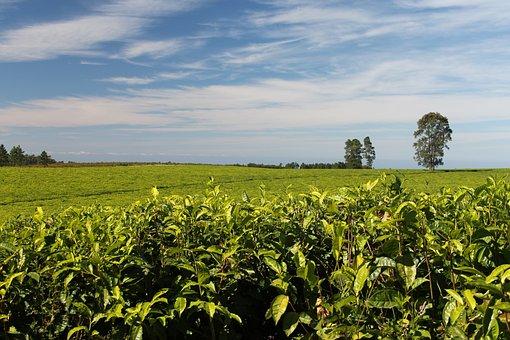 Tea, Plantations, Greenery, Growing, Flora, Crops
