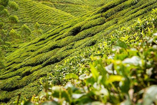 Tea Leaves, Tea, Plantation, Hills, Landscape
