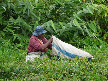 Collection, Tea Leaves, Mauritius, Plantation