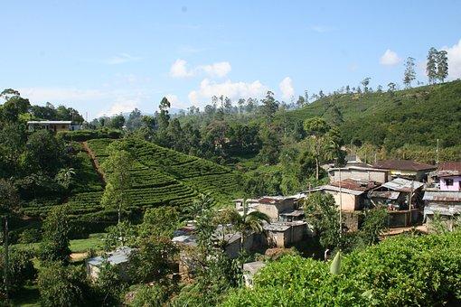 Tea, Plantation, Sri Lanka, Nature, Green, Field, Tree