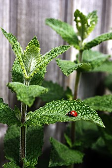 Mint, Peppermint, Ladybug, Moroccan Mint, Tee, Insect