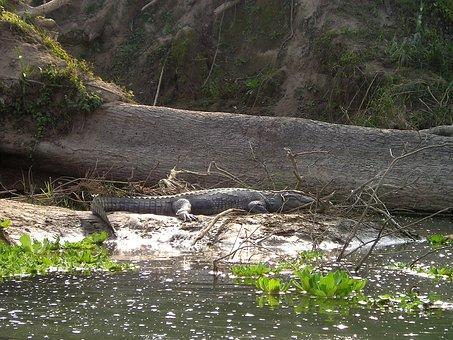Nepal, Aligator, Chitwan, National Park, Predator