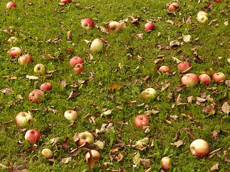 Apple, Meadow, Harvest, Pick, Windfall, Orchard, Fruit