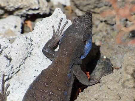 Lizard, Blue-cheeked, Canaries, Animal, Wild, Nature